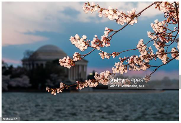 Cherry Blossoms & Jefferson Memorial