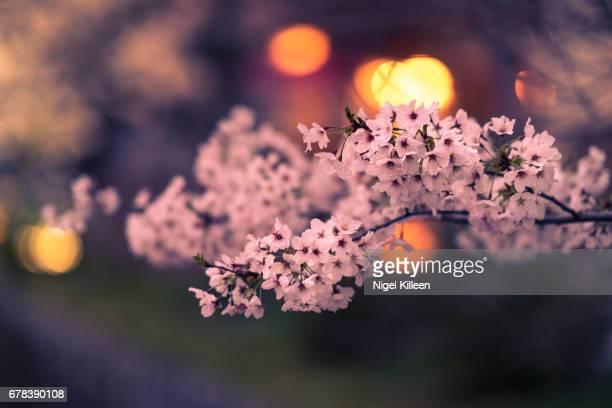 Cherry Blossoms, Kyoto, Japan