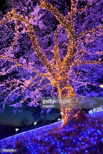cherry blossoms, light up, at night - kanto region stock pictures, royalty-free photos & images