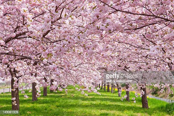 Cherry blossoms, Nagano Prefecture, Honshu, Japan