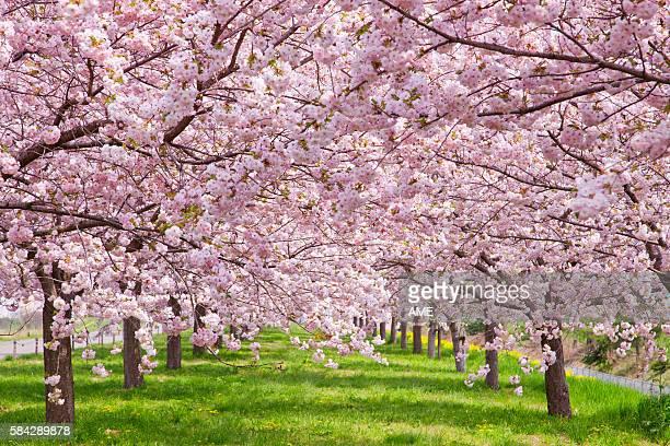 cherry blossoms, nagano prefecture, honshu, japan - 並木 ストックフォトと画像
