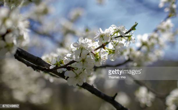 Cherry blossoms on a branch on March 29 2017 in Kruma Albania