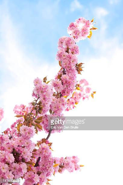 cherry blossoms on branch pointed toward sky - eric van den brulle stockfoto's en -beelden