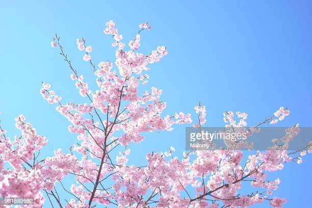 cherry blossoms on flowering cherry tree against clear blue sky. - baumblüte stock-fotos und bilder