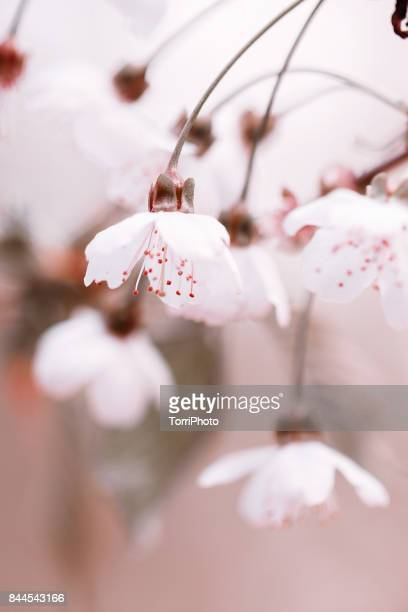 Cherry Blossoms on pastel colored background
