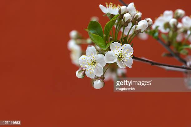 cherry blossoms on red - magdasmith stock pictures, royalty-free photos & images