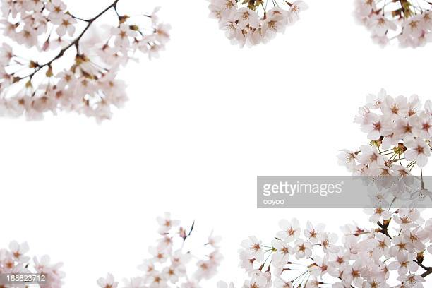 cherry blossoms on white - cherry tree stock photos and pictures
