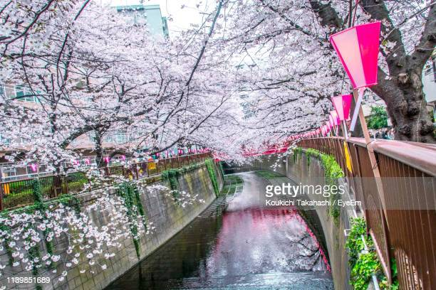 Cherry Blossoms Over Canal In City