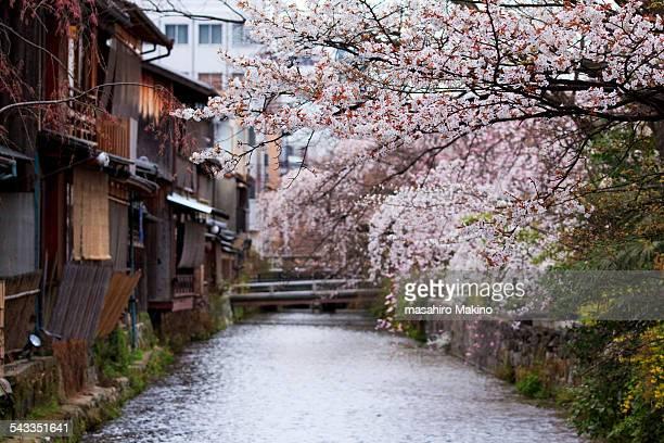 Cherry Blossoms over Shirakawa Canal