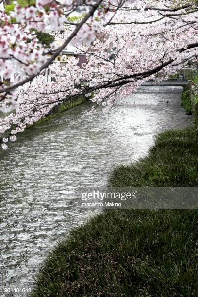 Cherry Blossoms over Shirakawa River, Kyoto City