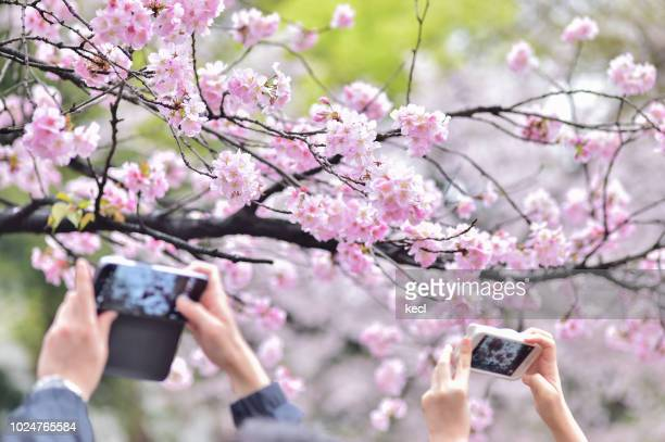 cherry blossoms - cherry blossom in full bloom in tokyo stock pictures, royalty-free photos & images