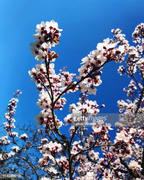 cherry blossoms - larissa veronesi fotografías e imágenes de stock