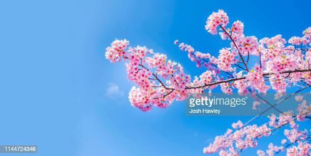 cherry blossoms - 桜 ストックフォトと画像