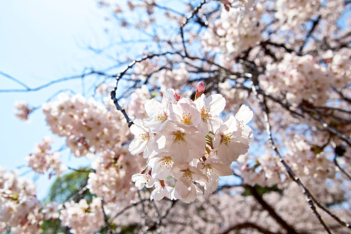 Cherry Blossoms - gettyimageskorea