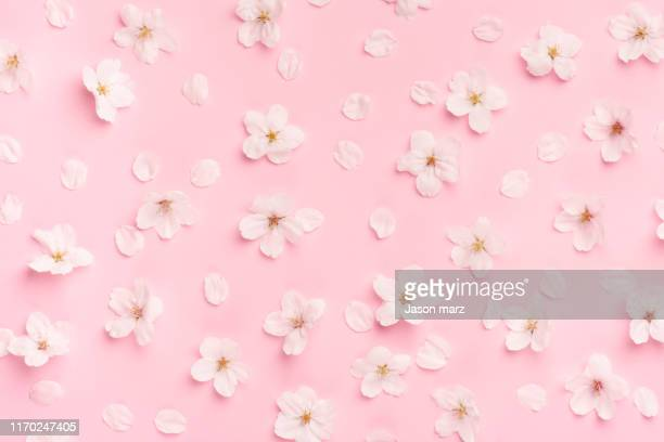 cherry blossoms - 花びら ストックフォトと画像