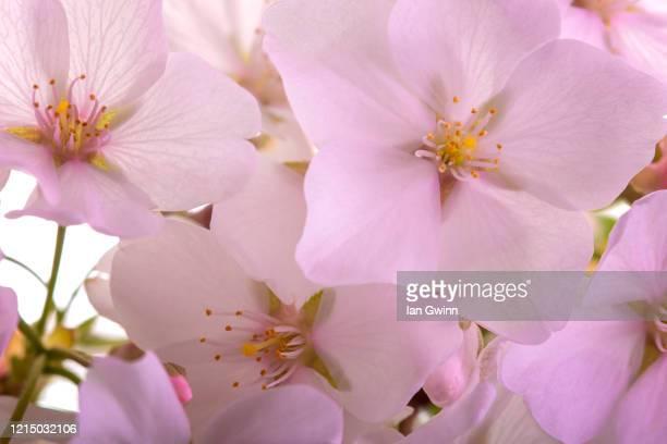 cherry blossoms - ian gwinn photos et images de collection