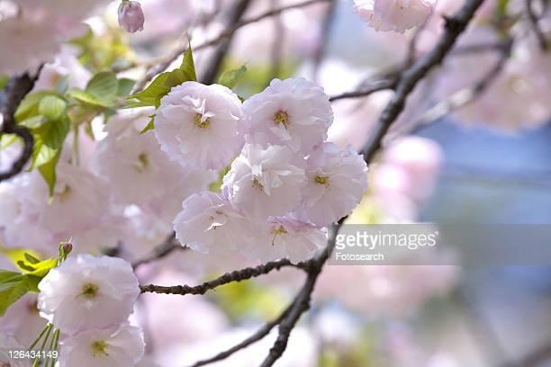 cherry blossoms - kanto region - fotografias e filmes do acervo