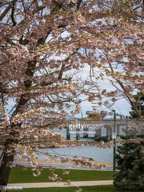cherry blossoms - flower moon stock pictures, royalty-free photos & images