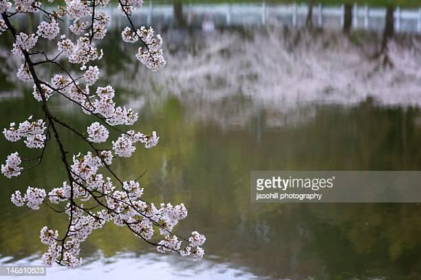 cherry blossoms - 盛岡市 ストックフォトと画像