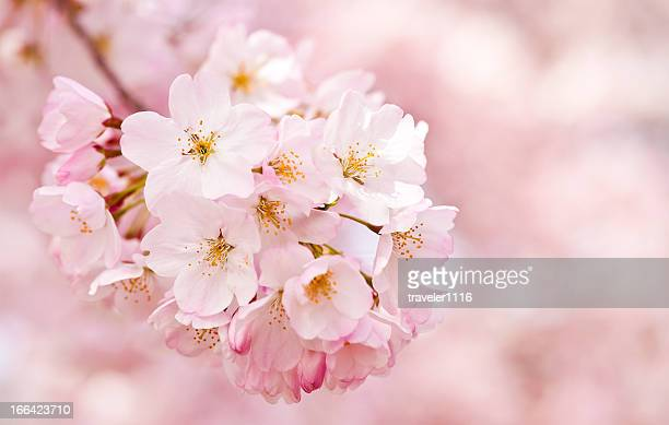 cherry blossoms - cherry blossom stock pictures, royalty-free photos & images