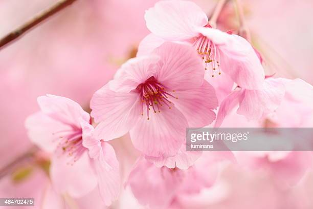SAKURA - Cherry Blossoms
