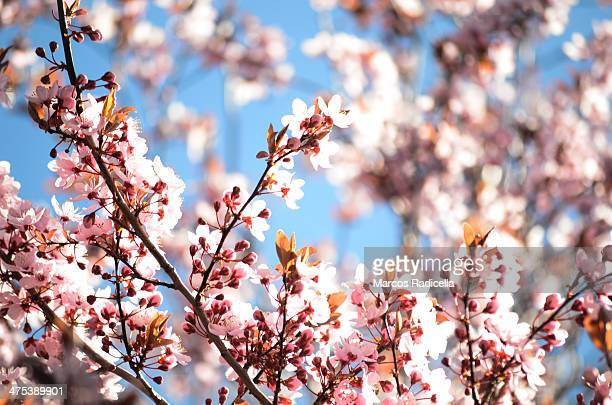 cherry blossoms - radicella stockfoto's en -beelden
