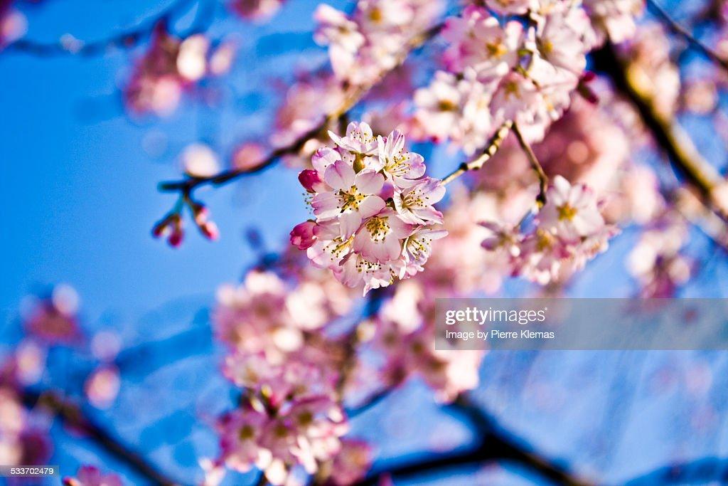 Cherry Blossoms : Foto stock