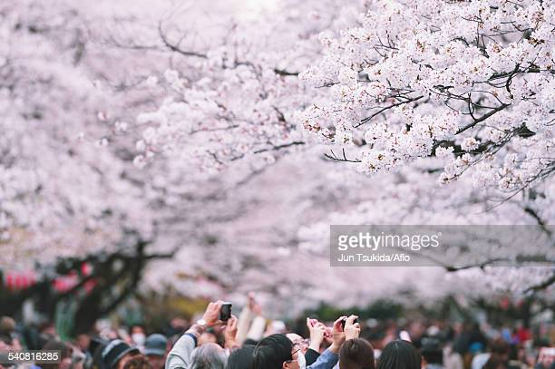 cherry blossoms - hanami stock pictures, royalty-free photos & images