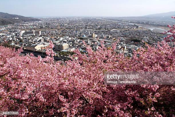 cherry blossoms - präfektur kanagawa stock-fotos und bilder