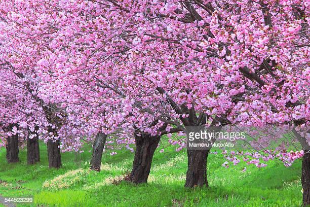 cherry blossoms - 山形県 ストックフォトと画像