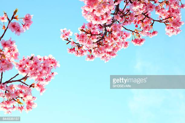 cherry blossoms - mishima city stock photos and pictures