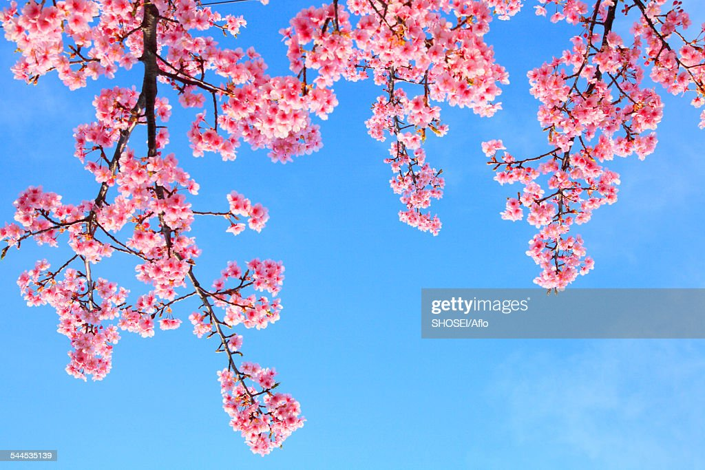 Cherry blossoms : Stock Photo