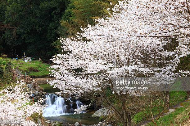 cherry blossoms - asuka stock pictures, royalty-free photos & images
