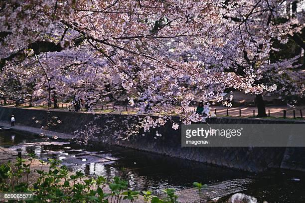 cherry blossoms - 西宮市 ストックフォトと画像