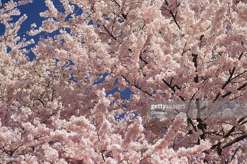 Cherry blossoms : Stockfoto