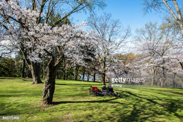 cherry blossoms - may stock pictures, royalty-free photos & images