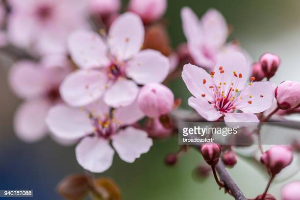 cherry blossoms - blossom stock pictures, royalty-free photos & images
