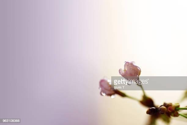 cherry blossoms - 果樹の花 ストックフォトと画像