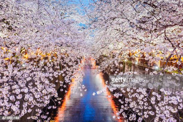 cherry blossoms season in tokyo, japan - hanami stock pictures, royalty-free photos & images