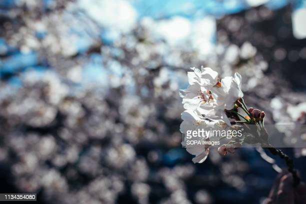 Cherry blossoms seen at yamazaki river nagoya Aichi prefecture Japan The Cherry blossom also known as Sakura in Japan normally peaks in March or...