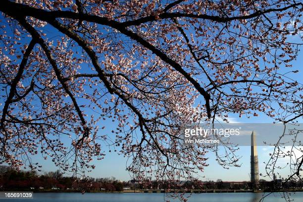 Cherry blossoms slowly starting to open around the Tidal Basin as a colder than normal March and chilly April has delayed the beginning of the cherry...