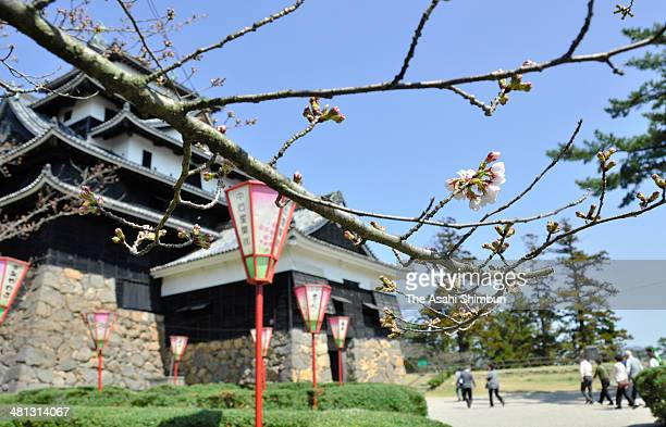 Cherry blossoms start blooming at Matsue Castle on March 28 2014 in Matsue Shimane Japan