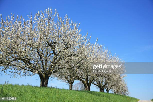 Cherry Blossoms, Switzerland, Canton Solothurn