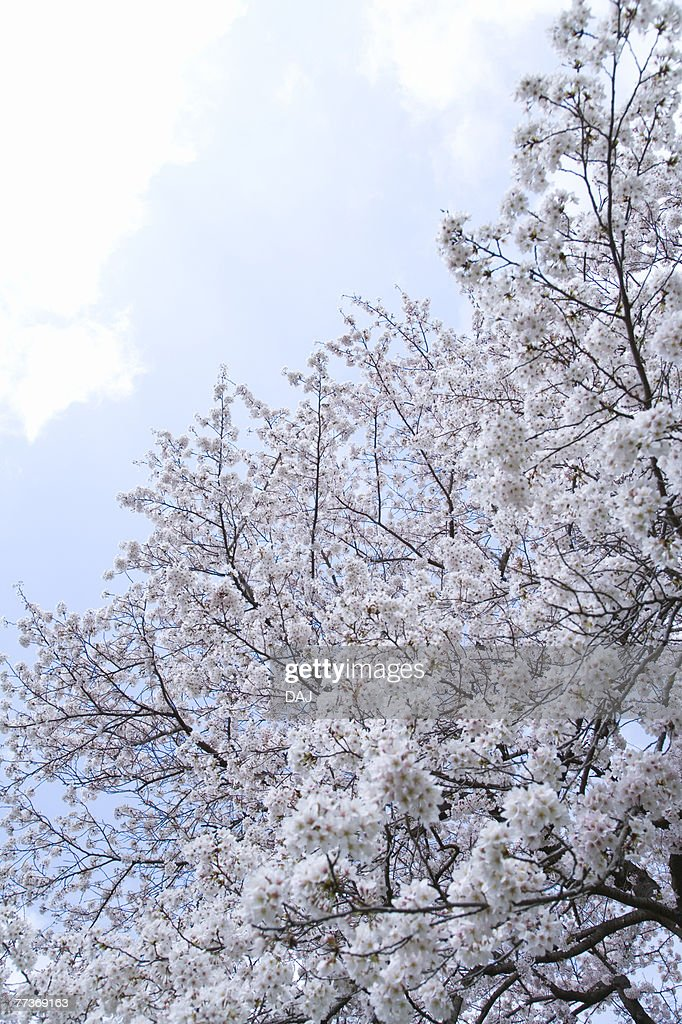 Cherry blossoms under the blue sky, low angle view, Japan : Photo