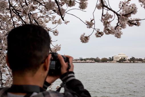 Cherry blossoms, Washington D.C., USA - gettyimageskorea