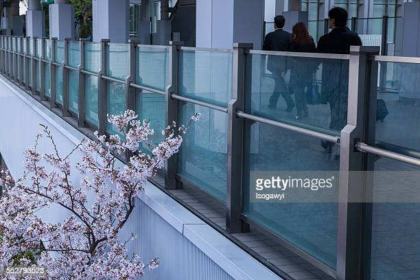 cherry blossoms watching over walkers - isogawyi ストックフォトと画像