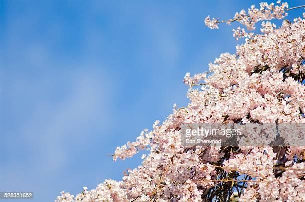 Cherry blossoms, Westmoreland Park, Portland, Oregon, USA