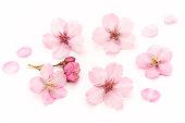 Cherry blossoms White background