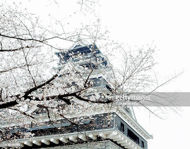 cherry blossoms with kumamoto castle - kumamoto prefecture stock pictures, royalty-free photos & images