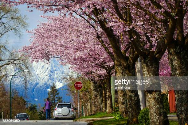 Cherry Blossoms with Snow-capped Mountains in Vancouver
